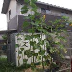 菜園:ひまわり咲いています