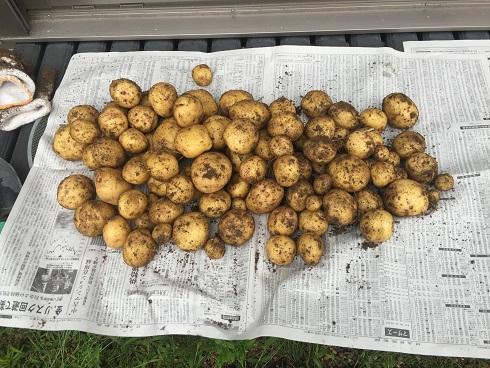 ジャガイモ収穫(6/19)