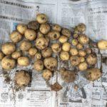 ジャガイモ収穫(令和元年)