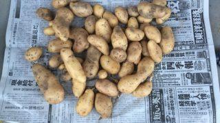 ジャガイモ収穫(令和二年)