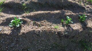 ジャガイモ発芽と今年の植付計画(令和3年)