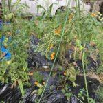 トマト収穫(令和3年)