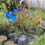 今年の菜園は終了:各種作物のレビュー